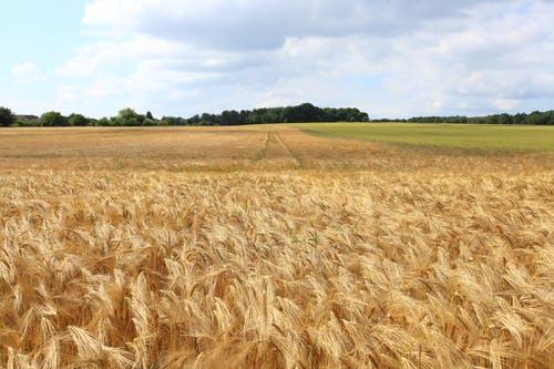 La culture des céréales en Belgique en lien avec le relief